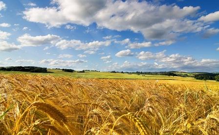Анімаційна шпалера на робочий стіл - Пшеничне поле