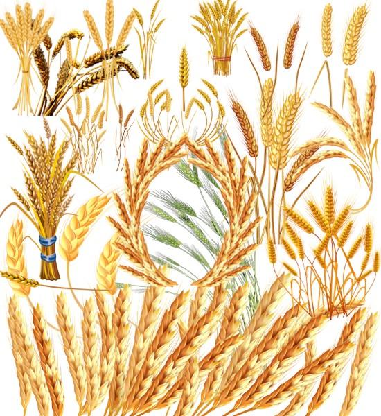 Колоски, пшениця